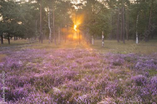 Kwitnący wrzos na skraju lasu
