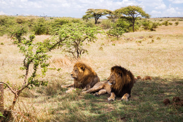 male lions resting in savannah at africa © Syda Productions