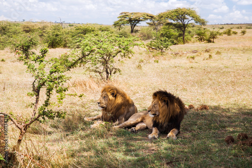 Foto op Aluminium Lion male lions resting in savannah at africa