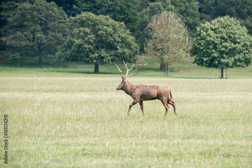 A red deer stag walking through a field at Woburn abbey, UK плакат