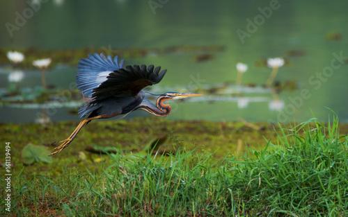Purple heron flying around