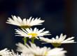 Elegant daisies in the garden