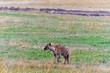 Quadro Spotted hyena in savanna. Masai Mara, Kenya