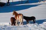 Pferd Ponny und Esel im Schnee