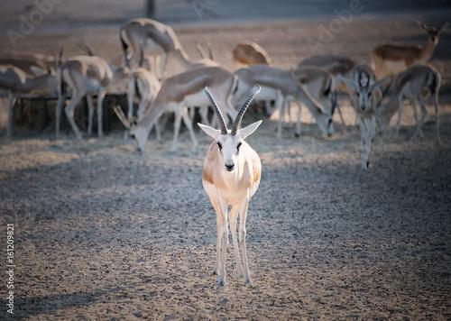 Fotobehang Abu Dhabi Sand Gazelle