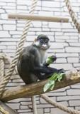 Monkey eats green leaves