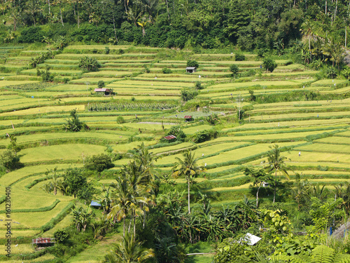 A typical balinese view of colorful green rice fields divided into terraces, small structures and a tropical forest on the background, Karangasem region of Bali island, Indonesia, November 2016