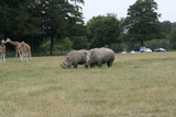 Southern white rhinoceros 3