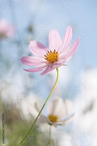 Naklejka cosmos flowers