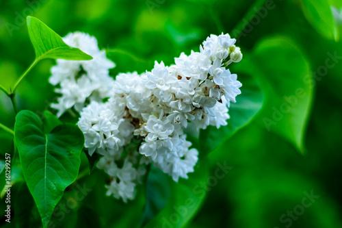 Kwiaty białego bzu na tle zielonych liści.