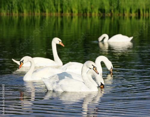Fotobehang Beautiful white swans swimming in countryside river