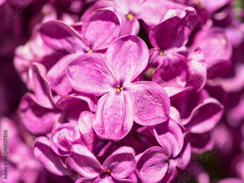 Syringa, lush buds of lilac flowers on a branch, close-up of inflorescence