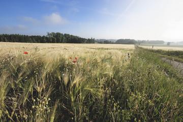 Landschaft am Steinhude  Meer.Korn Wiese.