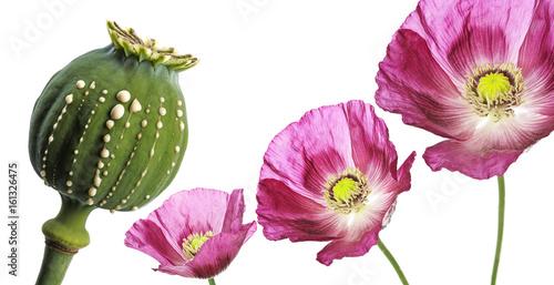 Opium - latex flows from immature macadamia (Poppy seed - Papaver somniferum)