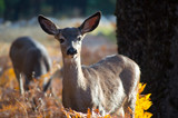 Deer close-up at Yosemite