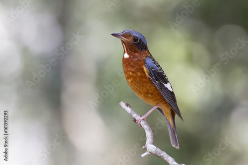 White-throated Rock thrush. This monticola gularis species has taken while it perched to Thailand during winter visited. It's a rare winter visitor bird of Thailand.