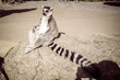 Ring tailed lemur meditating. Wisdom and conteplation concept with copy space