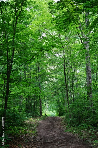 Foto op Aluminium Groene A path into the woods among tall gree trees