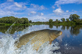 Carp fish jumping with splashing in water - 161425019