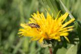 Big fly on a dandelion
