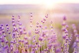 Lavender bushes closeup on sunset. Sunset gleam over purple flowers of lavender. Provence region of france. - 161468860