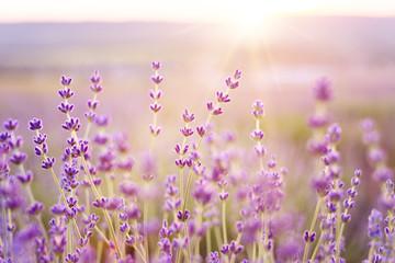 Lavender bushes closeup on sunset. Sunset gleam over purple flowers of lavender. Provence region of france.