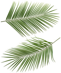Coconut palm tree long leaves set 2 isolated