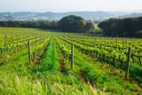 Vineyards are sunny in the spring seaso