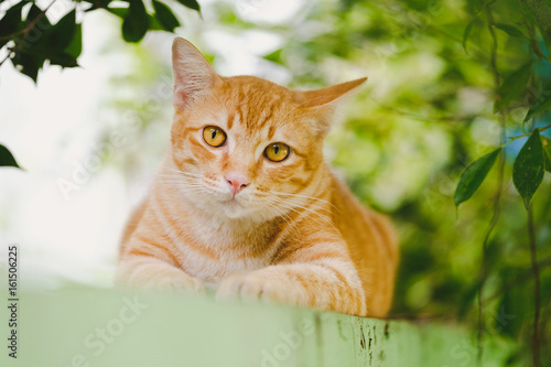 Cute orange cat in the garden It was happy after breakfast. Poster