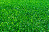 texture of the green grass