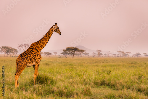 Baby giraffe safari Serengeti National Park, Tanzania. Wildlife scene of African Safari. Baobab tree in the background.