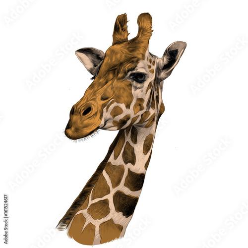 Fototapeta the head of a giraffe sketch vector graphics color picture brown