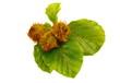 fresh sprig of beech