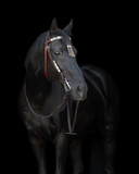 Black horse in the bridle on black background