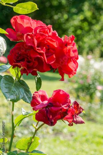 rote rosen im rosenpark