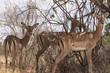 Quadro Gazellen Tsavo Ost Kenia
