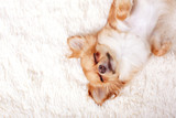 Cute ginger chihuahua asleep on a white carpet