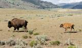 Young Buffalo Calf Follows Bull Male Bison