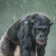 Quadro Chimpanzee portrait close up at open resort