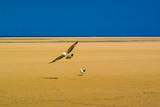 Seagulls on the beach Sotavento. Fuerteventura. Canary Islands. Spain