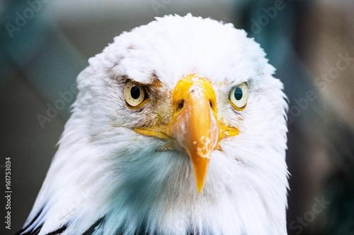 Adler Nahaufnahme