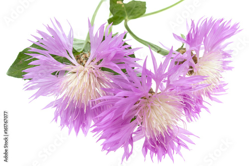 Lilac flower asters