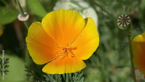 golden poppy in the nature
