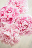 Pink Peony Close Up. Abstract Image - 161781021