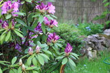 Beautiful flowers of rhododendron on a floral background.