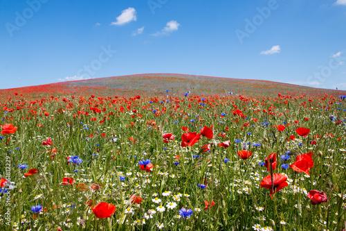 Mohnblumen auf einem Berg auf der Insel Rügen unter blauem Himmel