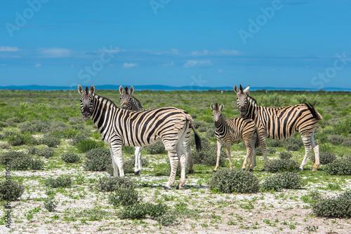 Fototapeta Zebras in Etosha national park, Namibia