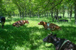 Cows in a forest , rest time