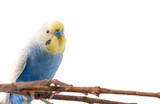 Blue Budgerigar bird (Melopsittacus undulatus).