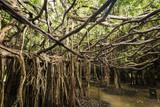 Amazing banyan spread on wetland, Sai Ngam park, Phimai District, Nakhon Ratchasima Province, Thailand
